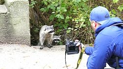 A tourist moves in super close to take pictures of cute racoons.