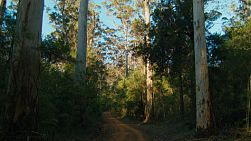 Gravel track through Karri trees in the Gloucester National Park near Pemberton, Western Australia.
