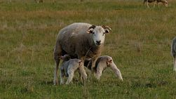 Two twin lambs feeding from their mother ewe in a field.