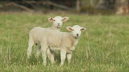 Two cute young lambs standing in a grassy paddock, looking at the camera.