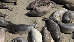 A group of cute Elephant Seals bask in the sun and squawk at each other while laying on the beach in San Simeon, California.