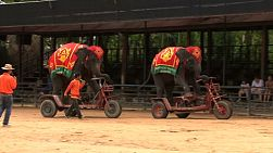 Two elephants ride special bicycles around the show grounds in Thailand under the careful supervision of their masters.