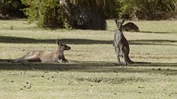 Two kangaroos relaxing on a grassy area, one standing and one lying.