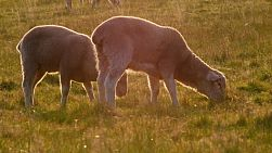 Young lambs grazing on grass in a paddock, lit by the golden light of sunset.