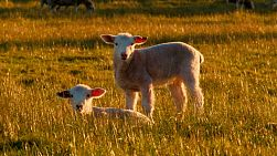 Cute lambs lying down and standing in a grassy paddock on an Australian farm, looking at the camera.