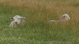 Two young lambs lying in a grassy field on an Australian farm.
