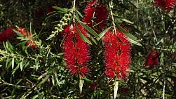 Two red Callistemon (Bottlebrush) flowers.