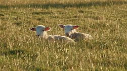 Two young lambs lying together in a grassy field on an Australian farm.