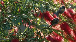 Wattlebirds (Anthochaera) flying around pecking at Callistemon (Bottlebrush) flowers.