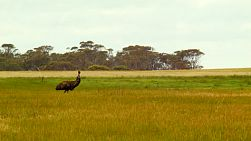 A wild emu wandering in a paddock on an Australian farm.