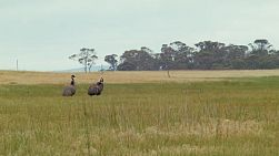 Two wild emus wandering in a field on a farm in Western Australia.