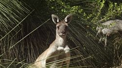 A kangaroo standing amongst grasstrees, looking at the camera, in a patch of Australian bush.