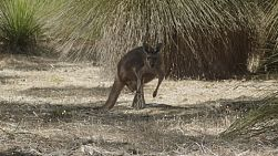A wild kangaroo standing in the shade, staring at the camera.