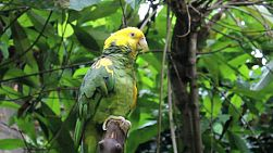 A beautiful yellow fronted parrot sits in the tree enjoying life!