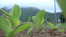A low shot of a young banana crop in Western Thailand.