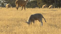 A cute young lamb grazing in the dry grass of a paddock in the australian summer, basking in the evening sunlight.