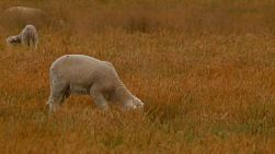 A cute white lamb grazing on dry grass in a field on an Australian farm.