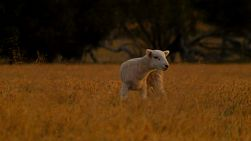 A cute lamb standing in a dry paddock at dusk on an Australian farm.