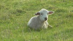 A cute white lamb lying down while resting in a grassy paddock on an Australian farm.