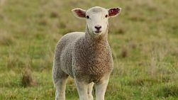 A young lamb looking at the camera, while standing in a grassy paddock on an Australia farm.