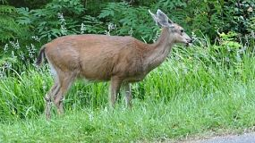 A beautiful white tailed deer quietly spends time eating grass on the edge of the forest.