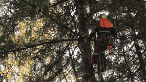 An arborist climbs into position in order to cut branches off a tall Douglas Fir tree during the rain.