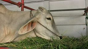 A cute Asian cow enjoys chewing her grassy food.