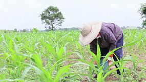 A Thai farmer working hard in a corn field, watering and planting corn in Chiang Rai, Thailand.