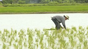 Asian farmer planting a rice field by transplating seedlings in chiang rai, thailand.