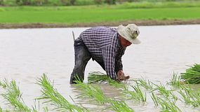 A Thai farmer wading in water, planting rice seedlings in a rice paddy in Chiang Rai, Thailand.