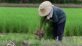 An Asian farmer works hard in the rice paddy in northern Thailand.