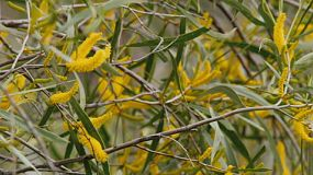 Close up of the bright yellow, golden flowers and leaves of a wattle (acacia) tree growing in it's habitat in Western Australia.