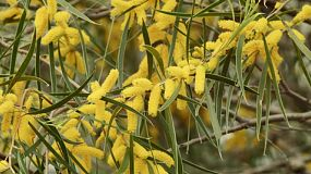 The bright yellow, golden flowers and leaves of a wattle (acacia) tree in Western Australia.