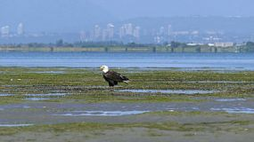 A majestic Bald Eagle sits on a sand bar near the ocean enjoying a beautiful summer's day!