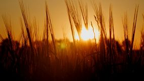 Crop of barley in a paddock silhouetted against the setting sun.