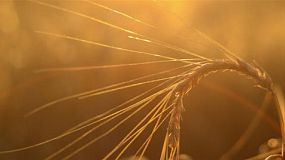 Curved head of barley set against the light from the setting sun, the crop is ready for harvest on an Australian farm.