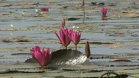A nice shot of a beautiful pink lotus flower in a pond in rural Thailand.