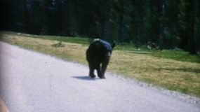 A family watched a black bear walking down the highway and elk drinking water while on holidays in the mountains in 1967.