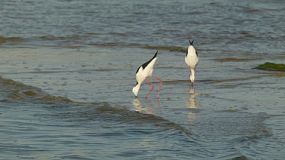 Two Black-winged Stilt (Himantopus himantopus) birds in the Swan River in Perth, Western Australia.