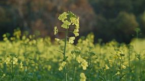 Flowers of a blooming canola plant in a crop on an Australian farm.