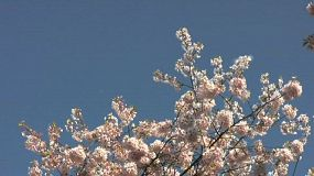 Blossom Snowflakes Fly Off Cherry Tree In Springtime (HD 1080p30)
