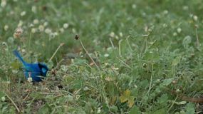 A Blue Wren bird (aka Splendid Wren - Malurus splendens ) jumping around in some grass.