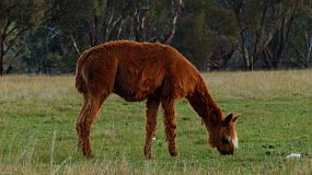 A brown alpaca grazing in a grassy field on a farm.