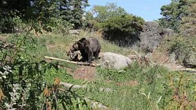 A large brown bear goes for a walk exploring for food.