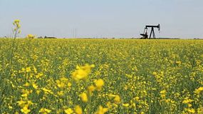 A lonely oil pump works tirelessly in the middle of a ripe Canola crop in the Canadian prairies.