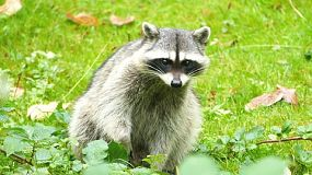 A cautious racoon carefully plots his next move as he looks for food near the forest.