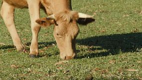 Close up of a horned cow grazing on green grass in a field.