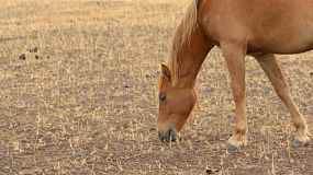 A horse grazing on grass in a dry paddock on an Australian farm in summer.