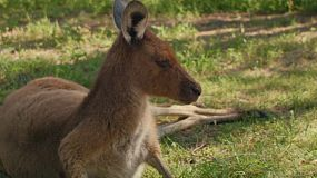 Close up of a kangaroo resting in the shade on the grass.