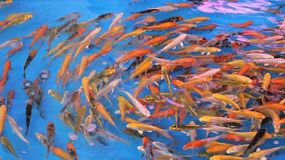 A school of tropical fish swim around and around in circles in a large tank.